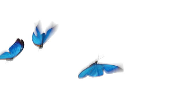 Beautiful Blue Colored Butterflies Morpho Menelaus Flying on White and Green Backgrounds Close-up. Loop-able 3d Animation with Green Screen Alpha Channel.