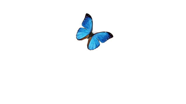 Beautiful Blue Colored Butterfly Morpho Menelaus Flying and Sitting on White and Green Backgrounds Close-up. Loop-able 3d Animation with Green Screen Alpha Channel.
