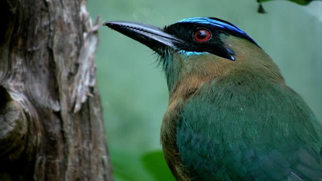 Beautiful 'Blue crowned motmot' bird. video