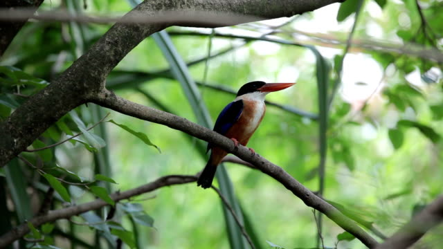 Beautiful blue Kingfisher bird sitting on a branch video