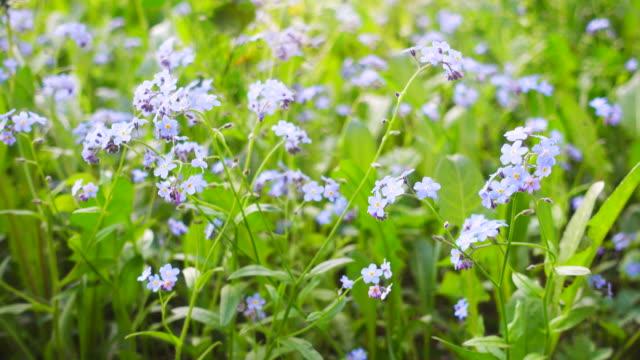 Beautiful blue wild flowers. video