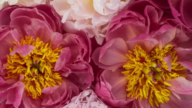 beautiful bouquet of blooming peony flowers. - flowers стоковые видео и кадры b-roll