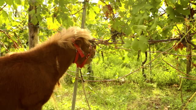 Beautiful brown horse eats grapes, Pony eats grapes on a vineyard in italy, close-up video