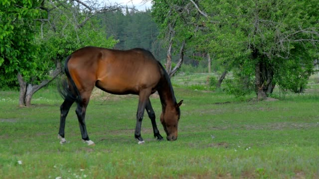 Beautiful brown horse grazing on a green meadow video