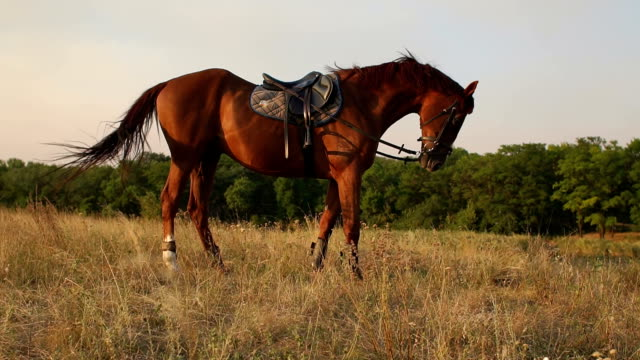 Beautiful brown horse on the field at setting sun. video