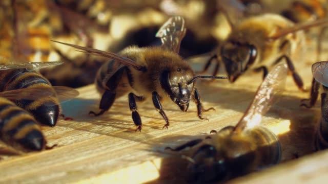 vídeos y material grabado en eventos de stock de hermosos insectos marrones arrastrándose sobre sus patas negras y alas claras sobre una superficie de madera de una colmena. - bee