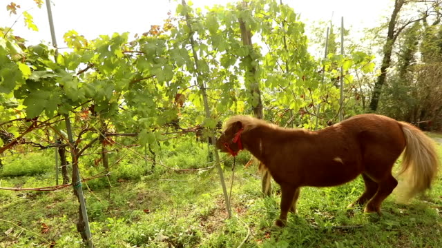 Beautiful brown pony eats grapes, Pony eats grapes on a vineyard in italy, close-up video