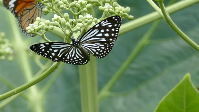 vacker fjäril absorbera vissa sweet från blommor - pollinering bildbanksvideor och videomaterial från bakom kulisserna