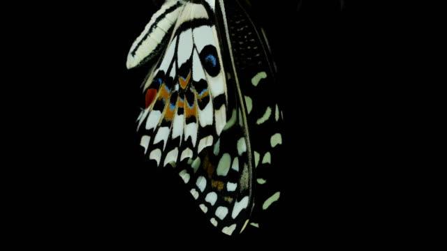 Vacker fjäril svart bakgrund video