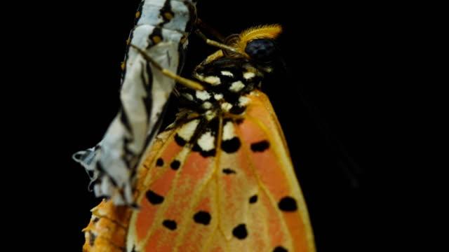 Vacker fjäril Närbild svart bakgrund video