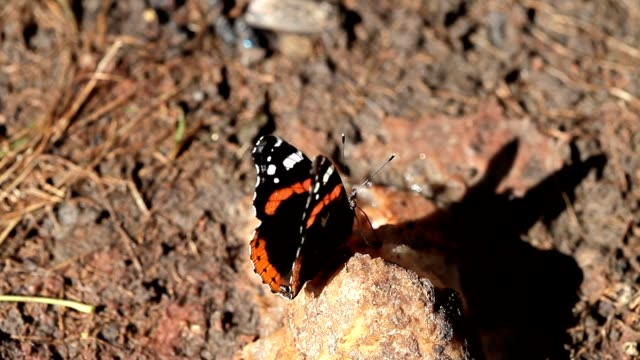 Beautiful butterfly eats mineral video