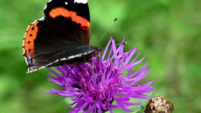 wunderschönen schmetterling auf lila blüte - wespe stock-videos und b-roll-filmmaterial