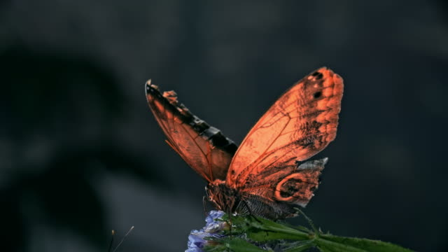Beautiful Butterfly Opening and Closing Wings Close-up of beautiful Giant Owl (Caligo memnon) butterfly opening and closing its wings slowly while sitting on flower animal wing stock videos & royalty-free footage