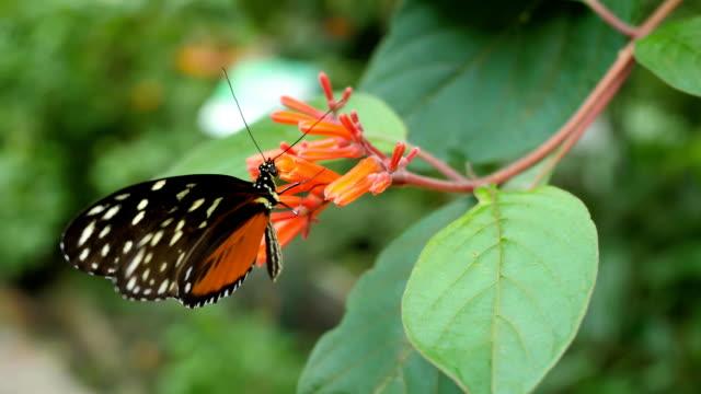 vacker fjäril sitter på en blomma - pollinering bildbanksvideor och videomaterial från bakom kulisserna
