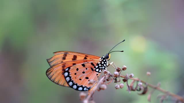 A beautiful butterfly sitting on a grass branch at dusk, monarch