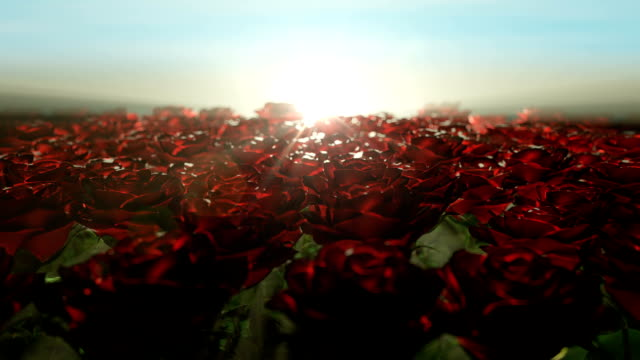 Beautiful calm sunrise over field of red roses video