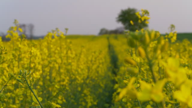 dolly hd: bellissimo canola field - rack focus video stock e b–roll