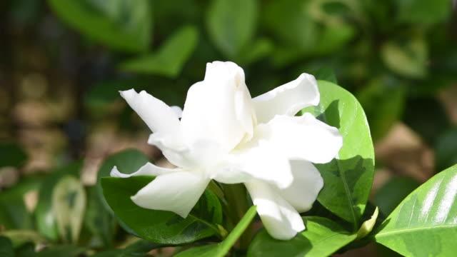 bellissimo fiore di gelsomino del capo in giardino - full hd format video stock e b–roll