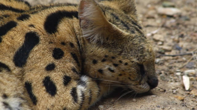 Beautiful caracal tiger