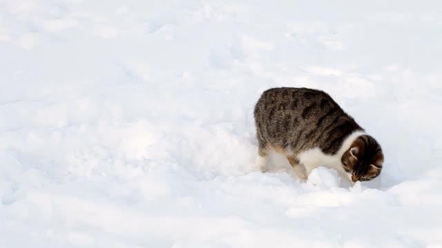 Beautiful cat in snow in winter video