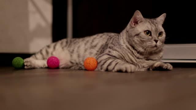 vídeos y material grabado en eventos de stock de hermoso gato mirando a la cámara y luego recibe y hojas - vibrisas