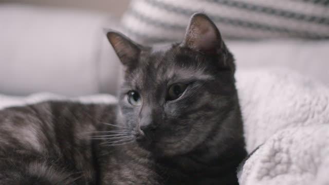 schöne katze entspannen, spielen, fellpflege, slow-motion - nutztier oder haustier stock-videos und b-roll-filmmaterial