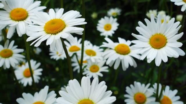 Beautiful chamomile flowers video
