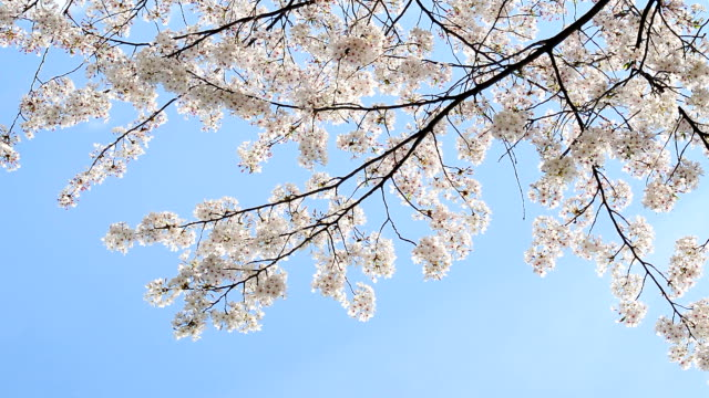 beautiful cherry blossom against blue sky. Flower petals fall with gentle wind. video