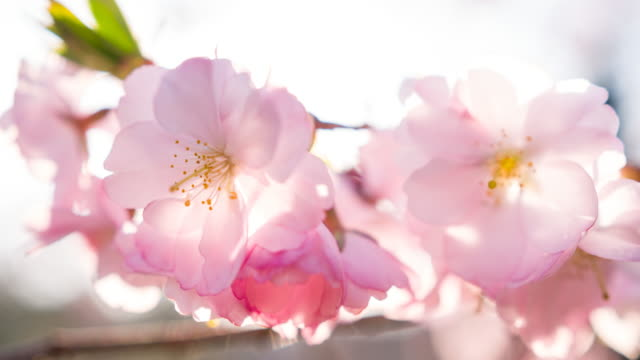 Beautiful cherry blossom flowers illuminated by sunlight video