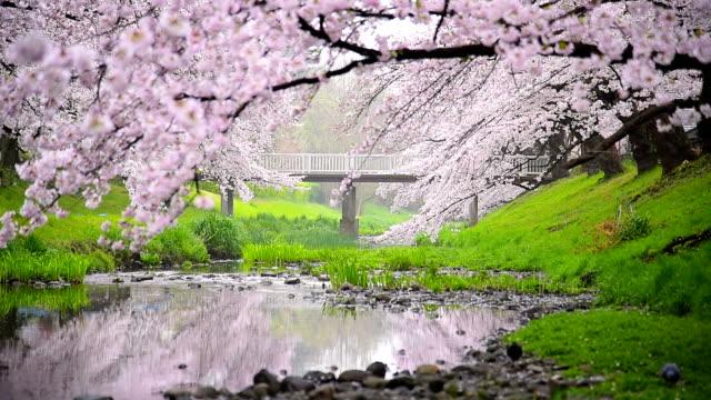 beautiful cherry blossom sakura  at tachikawa park in tokyo japan - cherry blossom stock videos and b-roll footage