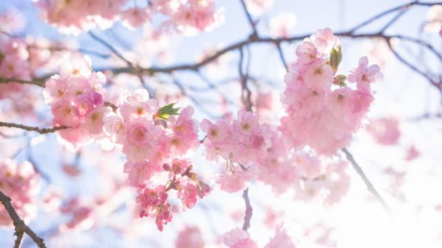 vídeos de stock, filmes e b-roll de bela árvore de cereja em flor em um dia ensolarado - cerejeira árvore frutífera