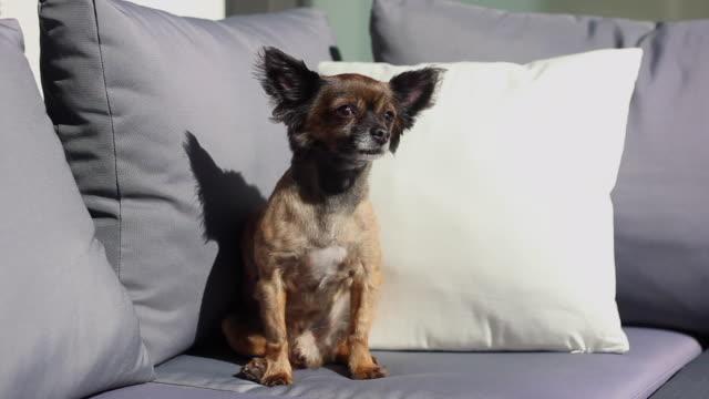 Schöne Chihuahua Hund aufgeregt in einer Lounge – Video