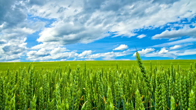 HD TIME LAPSE: Beautiful Cloudscape Over Wheat Field video