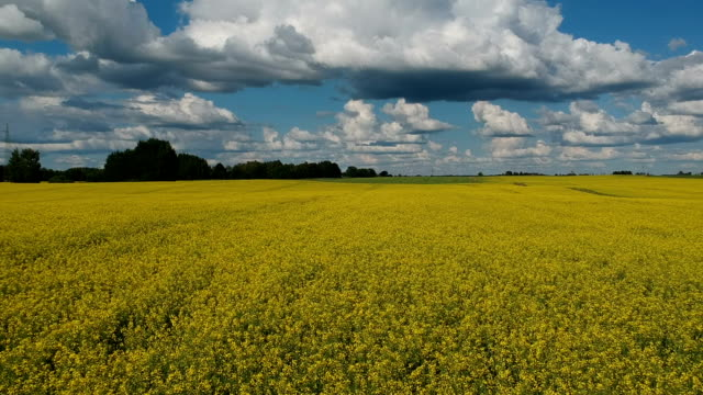 beautiful cloudy  rapeseed fields in summer, aerial - canola video stock e b–roll