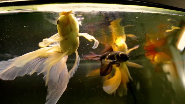 piękne kolorowe ryby duże płetwy pływające w akwarium na wystawie, sprawiają, że życzenie - spoiler filmów i materiałów b-roll
