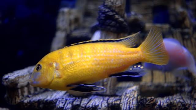 Beautiful colorful aquarium fish swimming in the dark water video