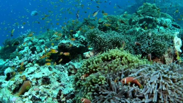 vidéos et rushes de beau récif de corail coloré et sous l'eau les poissons tropicaux dans maldives - mer d'andaman