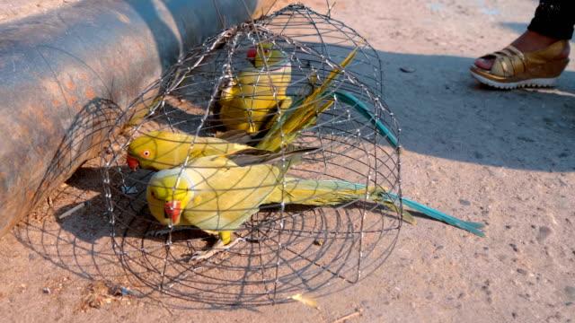stockvideo's en b-roll-footage met mooie kleurrijke indiase geringde papegaaien zitten in draadkooien op straat - halsketting