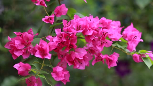 Beautiful colorful spring flower (Bougainvillea) branches closeup, Purple Flowers and green space background.Pink bougainvillea flowering in spring, Close up