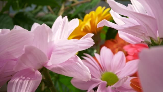 bellissimi fiori primaverili colorati. macro primo-up di crisantemi gialli, rosa e arancioni e gerberi lilla. colpo di scorrimento, 4k - bouquet video stock e b–roll