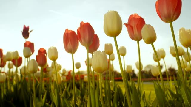 クローズ アップ: 美しいカラフルな背の高いチューリップ球根花き公園に咲く - チューリップ点の映像素材/bロール