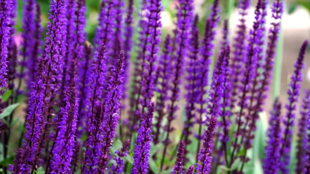 Beautiful colors purple lavender close-up in the field : PL