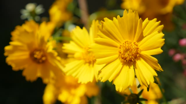 beautiful coreopsis auriculata flower in the garden 4k - coreopsis lanceolata video stock e b–roll