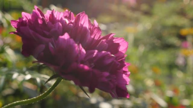 Beautiful Cosmos bipinnatus Double Cranberry flower violet color shallow DOF 4K