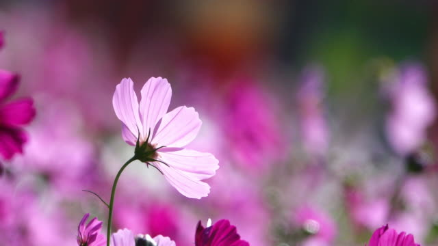 Beautiful Cosmos Flower blooming in the field. video