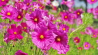 istock Beautiful Cosmos Flower blooming in the field. 1221189401