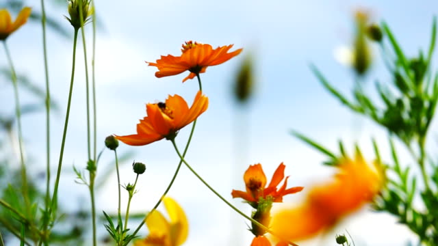 Beautiful Cosmos flowers, bee and blue sky, Slow motion