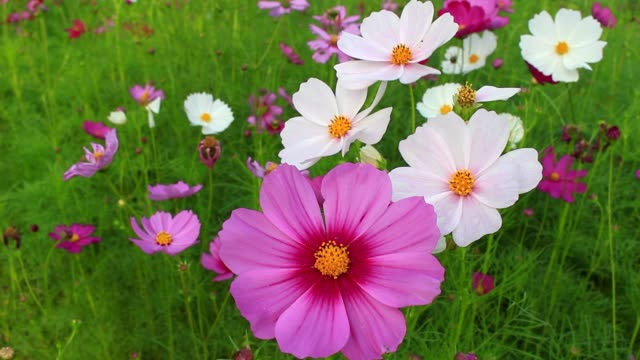 Beautiful cosmos flowers swaying in the breeze video