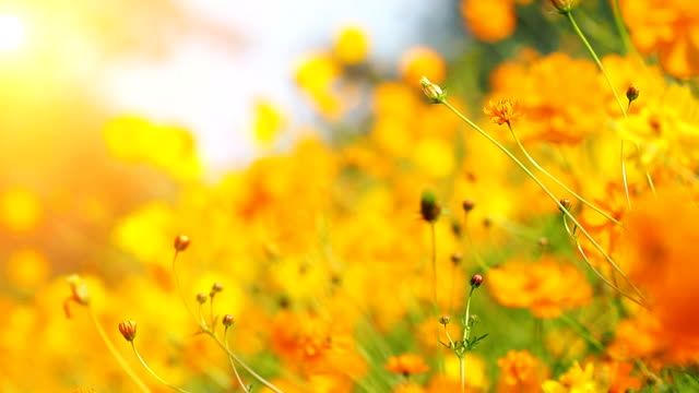 Beautiful cosmos flowers swaying in the breeze with sun light. video