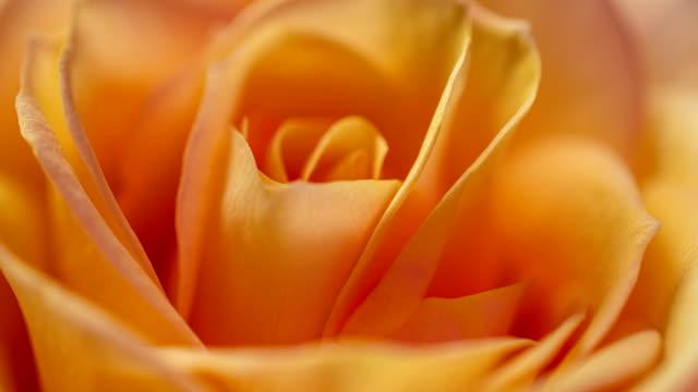 vídeos y material grabado en eventos de stock de hermoso fondo rosa rosa crema crema. flor de rosa en flor abierta, lapso de tiempo, primer plano. telón de fondo de la boda, concepto del día de san valentín. 4k, timelapse de vídeo - pétalo